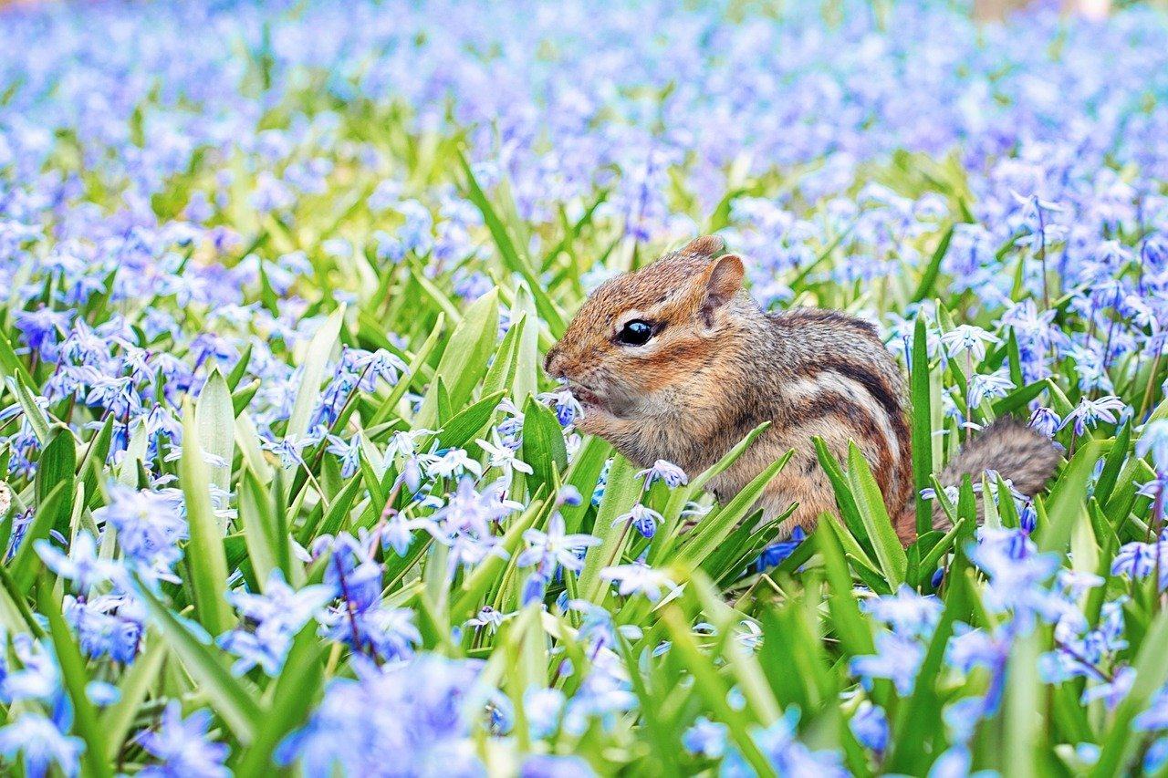 how to get rid of chipmunks